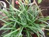 Dwarf Mondo Grass Blades