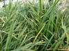 Dwarf Mondo Grass Up Close