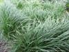 Ophiopogon japonicus Grass