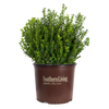 Baby Gem Boxwood in container
