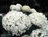 Hydrangea arborescens 'Annabelle' White Blooms