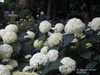 Annabelle Hydrangea Bush with White Blooms
