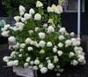Limelight Hydrangea Bush