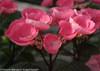 Pink Abracadabra Star Hydrangea Flower Pedals