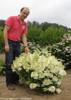 Bobo Hydrangea Shrub Covered in Flowers