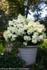Large Bobo Hydrangea in Planter