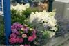 Bobo Hydrangea in Flower Garden