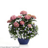 Edgy Hearts Hydrangea in Branded Pot