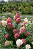 White and Red Fire Light Hydrangea Flowers