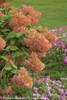 Little Lamb Hydrangea in Fall