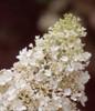 White Little Lamb Hydrangea Bloom Close Up
