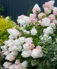 Pink and White Little Lamp Hydrangea Blooms