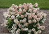 Pink and White Flowers on Little Quick Fire Hydrangea Shrub