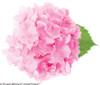 Pink Cityline Paris Hydrangea Flower
