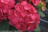 Dark Red Cityline Paris Hydrangea Flowers