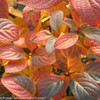 Fall Foliage of Quick Fire Hydrangea with Red Leaves