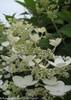 White Quick Fire Hydrangea Flower Close Up