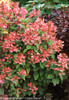 Quick Fire Hydrangea Green Foliage and Red Flowers