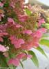 Pink Quick Fire Hydrangea Flower Close Up