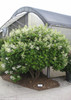 Large Quick Fire Hydrangea Shrub With White Flowers
