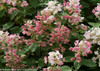 Pink and White Blooms on Quick Fire Hydrangea