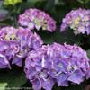 Purple and Green Cityline Rio Hydrangea Flowers