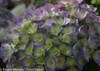 Unique Cityline Rio Hydrangea Flowers