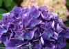 Purple Cityline Rio Hydrangea Flowers Close Up