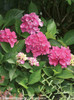 Cityline Venice Hydrangea Leaves and Pink Flowers