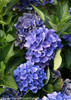 Blue Cityline Venice Hydrangea Flowers Close Up