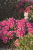 Cityline Venice Hydrangea Shrub with Pink Flowers