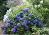 Cityline Venice Hydrangea Bush with Blue Flowers