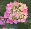 Cityline Vienna Hydrangea Mophead Flower