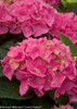 Pink Cityline Vienna Hydrangea Flowers