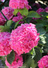 Cityline Vienna Hydrangea with Pink Flowers and Green Foliage