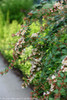 Sunny Anniversary Abelia Branches With Flowers