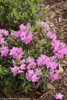 Amy Cotta Rhododendron Shrub