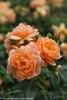 At Last Rose Flowers