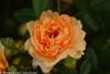 At Last Rose Flower Petals Up Close