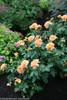 At Last Rose Shrub in Flower Garden