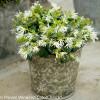 Jazz Hands Dwarf White Loropetalum Shrub in Garden Planter
