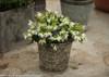 Jazz Hands Dwarf White Loropetalum in Garden Pot