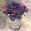 Jazz Hands Mini Loropetalum Shrub in Garden Planter