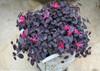 Jazz Hands Mini Loropetalum Foliage Planted in Garden Urn