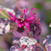 Jazz Hands Variegated Loropetalum Flower Close Up