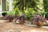 Jazz Hands Variegated Loropetalum Shrubs in Garden Planters