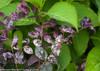 Jazz Hands Variegated Loropetalum With Purple Leaves