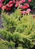 Good Vibrations Gold Juniper Foliage