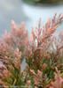 Good Vibrations Gold Juniper Fall Foliage