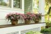 Infinitini Brite Pink Crape Myrtle Bushes in Garden Planters on Porch